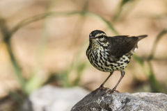 Water thrush Royalty Free Stock Photo