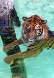 Water Tiger. Siberian Tiger In The Water Royalty Free Stock Photo
