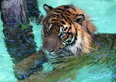 Water Tiger. Siberian Tiger In The Water Royalty Free Stock Images