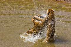 Water tiger action. Two wild tigers playing in water; Tigers in love Royalty Free Stock Photos
