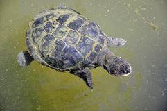 Water tortoise Stock Photography