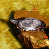 Water tortoise Royalty Free Stock Photo