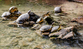 Water tortoises outdoors Royalty Free Stock Photo