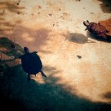 Water tortoises Royalty Free Stock Photography