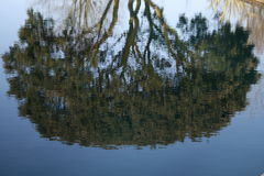 Water tree. Reflection of tree in water Royalty Free Stock Photos