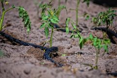 Water trickling hose. Black water trickling hose for drip irrigation Royalty Free Stock Image
