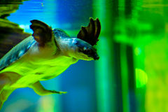 Water turtle Royalty Free Stock Photography