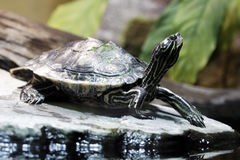 Water turtle. In the sun on the lake Stock Image