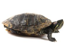 Water turtle. Isolated on the white background Royalty Free Stock Photos