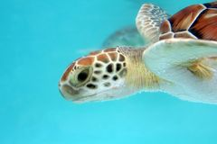 Water Turtle. Close-up of rather grumpy looking Loggerhead water turtle in turquoise water Stock Photography