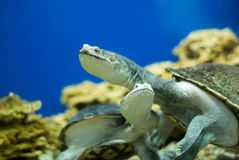 Water turtle Royalty Free Stock Images