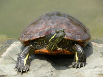 Water turtle. Resting in the sun on a rock royalty free stock image