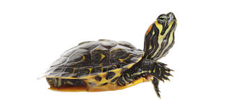 Water turtle Stock Photo