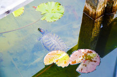 Water turtle with aquatic plants in Bolzano/Bozen Italy Caldaro Lake Stock Photography