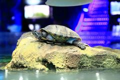 Water turtle on the boulder. Water turtle is resting on the boulder Royalty Free Stock Photos