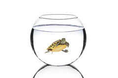 Water turtle in a bowl. Isolated on white background Stock Photos