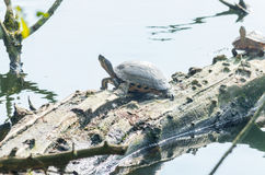 Water turtle (Chrysemys picta) Royalty Free Stock Photos