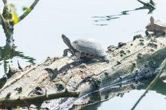 Water turtle (Chrysemys picta) Royalty Free Stock Photos