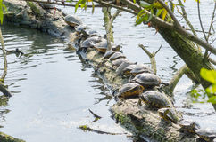 Water turtle (Chrysemys picta) Royalty Free Stock Photography