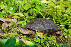 Water turtle. Close up of water turtle in green habitat Stock Image