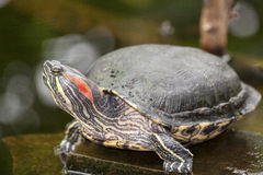 Water turtle. Close up on a rock in a pound Stock Images