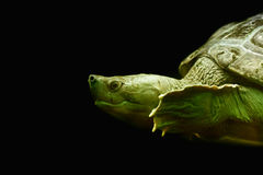 Water turtle detail. As nice animal portrait Royalty Free Stock Photos