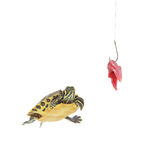 Water turtle and a fishing hook with meat Stock Photography