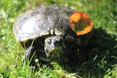 Water turtle in the grass. Small water turtle in the autumn grass Royalty Free Stock Photography