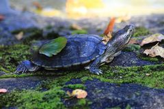 Water turtle in the grass. Small water turtle in the autumn grass Royalty Free Stock Images