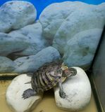 The water turtle. Has a rest on stones. The turtle lives in an aquarium Royalty Free Stock Photography