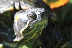 Water turtle head. As very nice animal Royalty Free Stock Photo