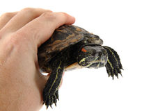 Water turtle in human hand Stock Photo