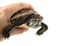 Water turtle in human hand Royalty Free Stock Photography