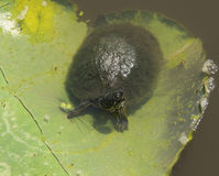 Water Turtle on Lilly Pad Stock Photography