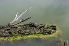 Water turtle on a log in the lake Royalty Free Stock Photography