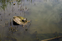Water turtle on a log in the lake Royalty Free Stock Photos