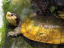 Water turtle Malayan flat-shell turtle, Notices platynota. The Water turtle Malayan flat-shell turtle, Notices platynota Royalty Free Stock Images