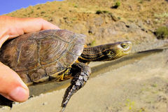 Water turtle,Mauremys leprosa saharica, mountain stream, Morocco Stock Images
