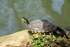 Water turtle. A water turtle in a park close to Florence Stock Images