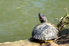 Water turtle. A water turtle in a park close to Florence Royalty Free Stock Photos