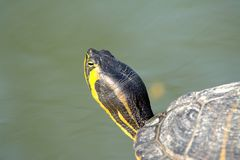 Water turtle. A water turtle in a park close to Florence Stock Photo