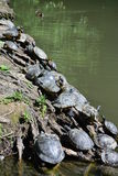 Water turtle. A water turtle in a park close to Florence Royalty Free Stock Image