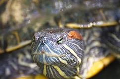 Water Turtle. Reptile Crustacean. Live naturally royalty free stock photography