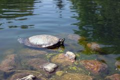 Water Turtle Resting In Pond. Photo taken: Spring 2018, East Coast, USA Stock Photos