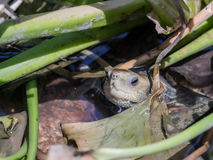 Water turtle sits in the water and stuck its  head between the aquatic plants Royalty Free Stock Images