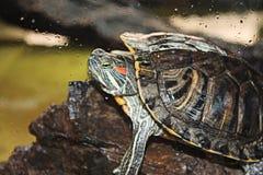 Water Turtle. Sitting on rock Stock Image