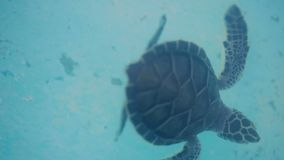 Water turtle swimming. In sea stock footage