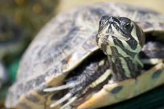 Water turtle Royalty Free Stock Photo