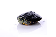 Water turtle. On white background Royalty Free Stock Photography