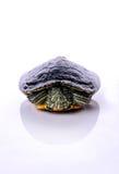 Water turtle. On white background Stock Photos